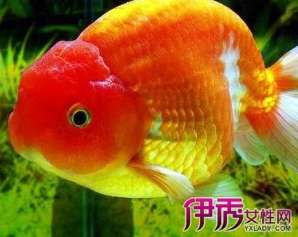 【怎么养金鱼】【图】怎么养金鱼好呢 6个小妙