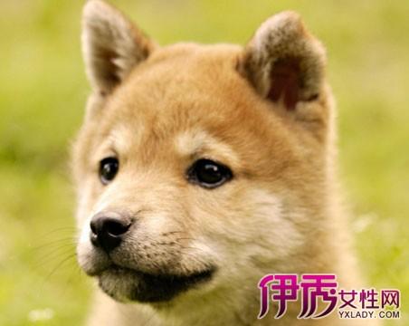 颊部相当发达;柴犬:圆圆的脸,脸型比例较秋田犬小得多了.