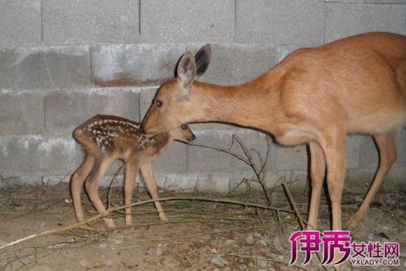 【图】麂子生活习性有哪些? 带你了解这位国际濒危动物