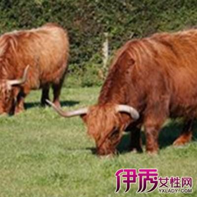 【牛配种】【图】你听过牛配种吗 4种配种方法