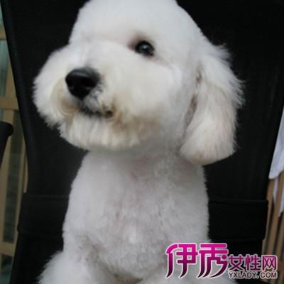 【图】时尚泰迪造型修剪图解 简单步骤给狗狗换上可爱泰迪装