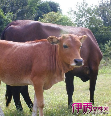 公牛配种有什么方法 4种方式培育出下一代