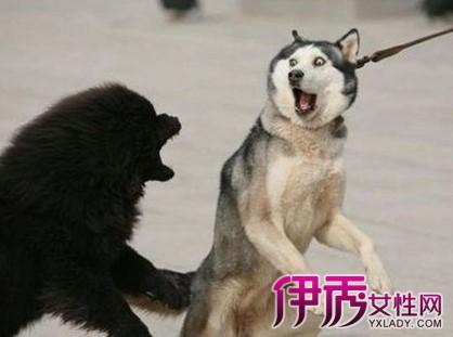 西伯利亚雪橇犬是原始的古老犬种