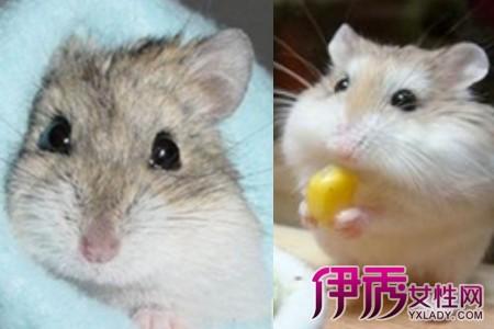 【图】仓鼠怎么分公母 可爱仓鼠如何养