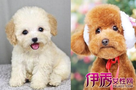 【图】了解泰迪犬怎样训练 让你家小可爱变萌宠