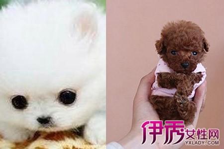 伊秀生活网 宠物 / 正文  茶杯犬娇小可爱,可以随身携带.