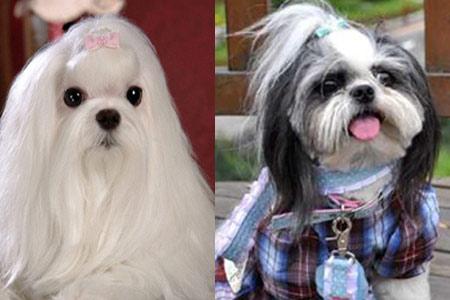 西施犬是中国本土出产的一种小型犬,性格活泼可爱,长相比较俊美.