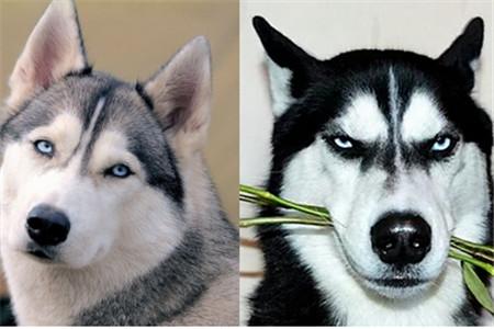 哈士奇是不是雪橇犬_【图】西伯利亚雪橇犬和哈士奇的区别 工作犬和宠物狗的不同