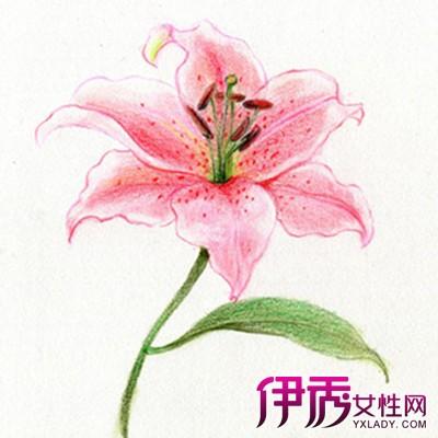 【图】百合花素描图片 素描花的静物步骤讲解-百合花素描图片图片