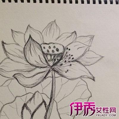 【图】荷花素描图片大全 5个简单小步骤画出大作-莲花素描图片