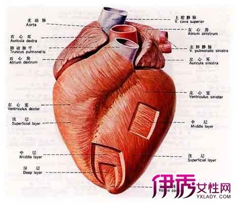 人体内脏器官结构 图-儿童人体器官讲解