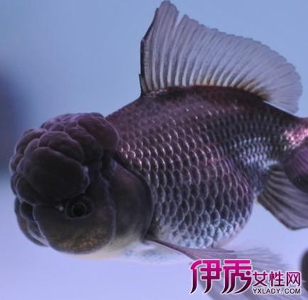 【什么的金鱼】【图】养什么的金鱼好 从风水