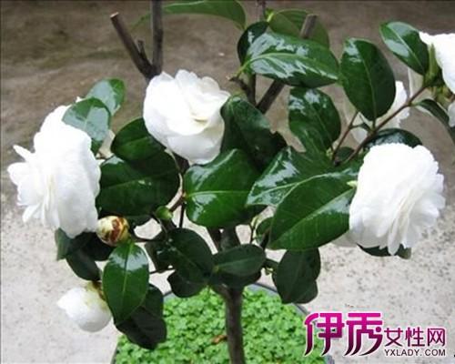 茶花嫁接 砧木