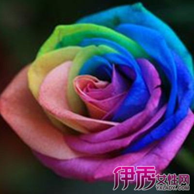 【七彩玫瑰花】【图】七彩玫瑰花