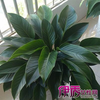 编为你推荐几大品种-大叶子盆栽植物图片及名称