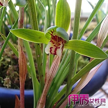 】关于野生兰花品种鉴别图片 网友称秦岭盛兰花芬芳-野生兰花品种