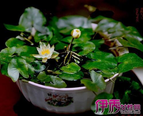 【图】碗莲睡莲种植 四个步骤教你种出碗莲