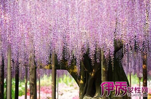 【图】紫藤树好养吗 教你如何正确栽培紫藤树