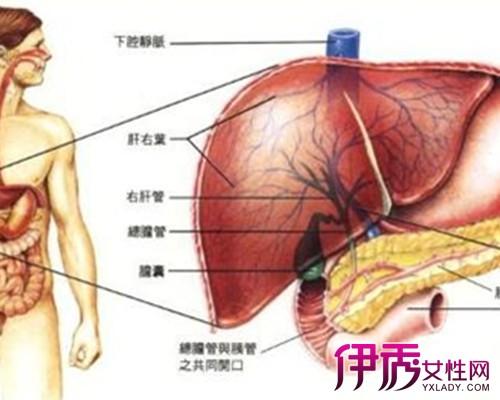 肝脏的位置图片