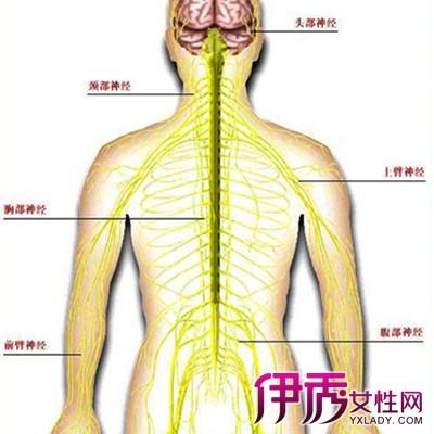 【图】腰椎神经分布图片 腰椎神经复杂及早治疗是关键-腰椎神经分布图