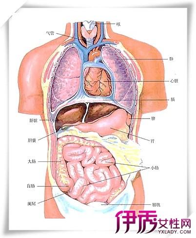 新陈代谢的重要器官-人的肝脏在什么位置图图片