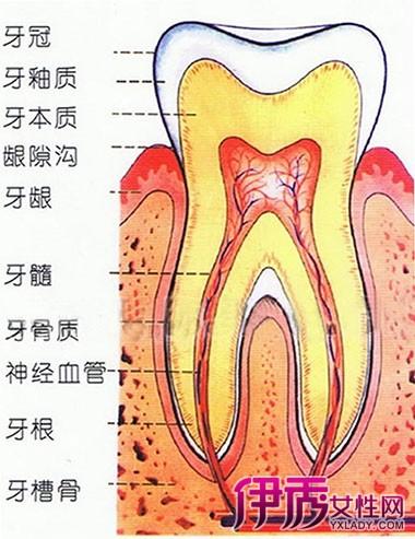 【图】牙齿的结构介绍