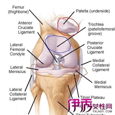 膝关节高清解剖图