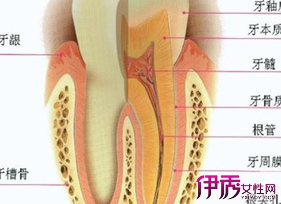 【图】牙齿的结构图片展示 了解牙齿的形态与功能