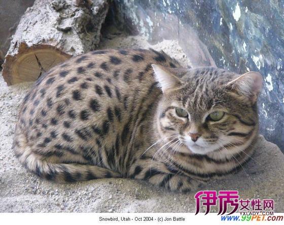 美国科学家培育出一种荧光猫,这种猫带有能够使猫科动物抵御艾滋病病毒感染的细胞,该研究成果可能有助于防止猫科动物感染艾滋病,并推动人类艾滋病的研究。该研究小组中还包括日本的合作者,在他们看来,关键在于将恒河猴的限制因子基因植入猫科动物体内,以阻止细胞感染艾滋病病毒。