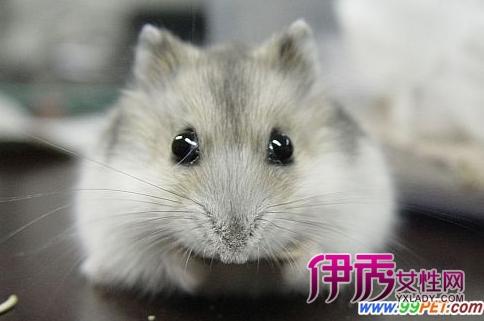 小学生作文:可爱的仓鼠(图)