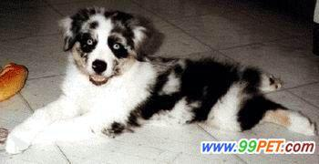 一例犬瘟热的诊断及治疗