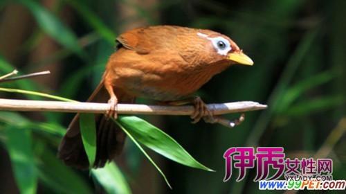 画眉斗鸟最好眼水_画眉鸟斗鸟的最佳搭配是什么-画眉鸟中的斗鸟具有什么样的特征