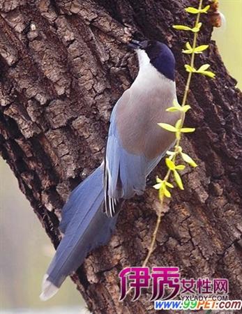 灰喜鹊从幼鸟到成鸟的变化特征(图)