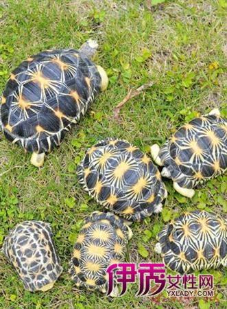 从马达加斯加岛远道而来的辐射陆龟(图)