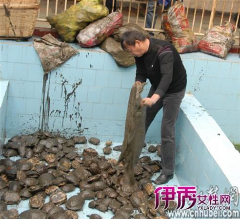 他们想到了武汉动物园天鹅湖,遂将千余只乌龟送往动物园.