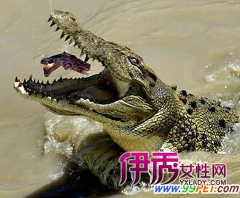 以树叶丛荫构成,每巢有白色硬壳卵50枚左右,大小约8055毫米;母鳄鱼