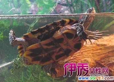 巴西龟的日常饲养方法(图)-红耳龟怎么养 巴西红耳龟 密西西比红耳图片