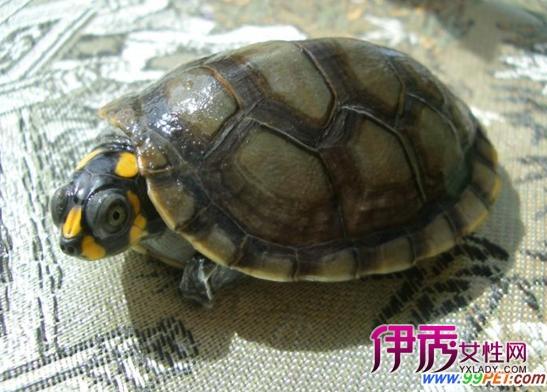 侧颈龟的分解种类介绍(图)-布袋莲 阅读答案 无纺布袋 霹雳布袋戏