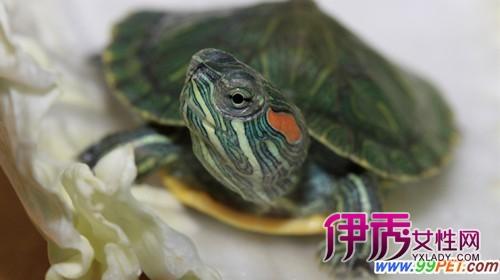 宠物龟的饲养(图)