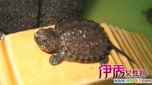 """"""" 野生动物园的专家到派出所鉴定,该乌龟并不是野生保护动物,而是一种"""