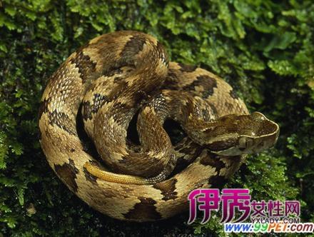 步的蝰蛇有那些品种类型(图)-苏州亚科 亚科南 亚科德 亚科