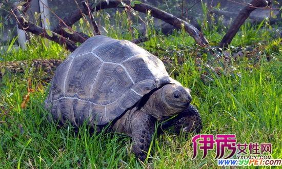 拯救热带海岛 引入陆龟恢复生态(图)