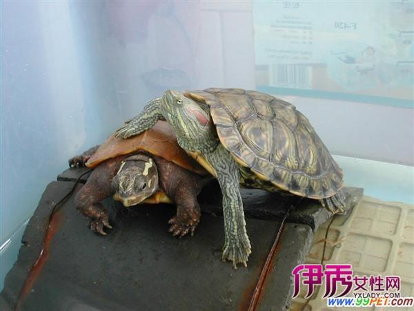 尤其是会冬眠的宠物乌龟