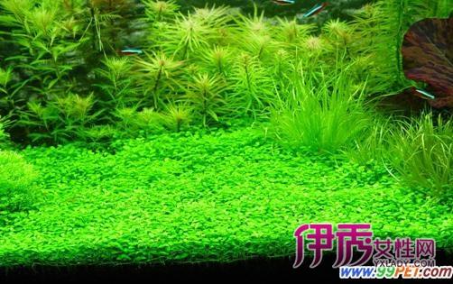 2,粉润惹人:彩虹圆叶/小圆叶 rotala rotundifolia  彩虹圆叶和绿宫廷