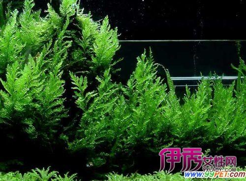 黑木蕨的生长环境要求(图)