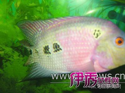 据带字罗汉鱼的主人程德强介绍,两条鱼均来  23日,记者在哈市道