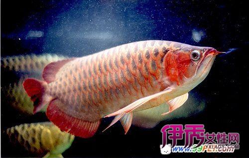 新加坡红龙鱼视频_2014极品过背红龙鱼图片极品红龙鱼 过背红龙鱼图片 图片