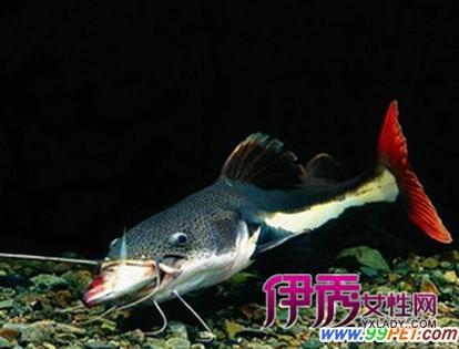 富贵猫鱼特色品种之红尾鸭嘴的饲养(图)-红尾皇冠鱼 红尾蚺 红尾巴