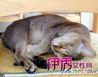 可爱娇小的新加坡猫(图)