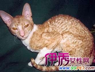 野猫:原本是家猫的祖先,生活在沙漠,山林等野外的环境中,在生物历史中